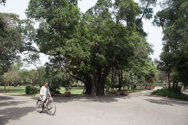 'Borhi (Ficus retusa) planted c. 1940 at Bagh-e-Jinnah, Lahore'  Photograph courtesy Matt Kushan